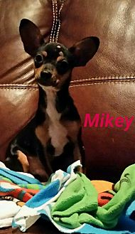Chihuahua Mix Puppy for adoption in Philadelphia, Pennsylvania - Mikey
