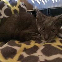 Adopt A Pet :: Ashur - Clarksdale, MS