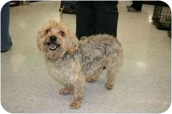 Yorkie, Yorkshire Terrier/Cairn Terrier Mix Dog for adoption in Northville, Michigan - Biscuit