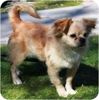 Lhasa Apso/Chihuahua Mix Puppy for adoption in Gilbert, Arizona - Tripper