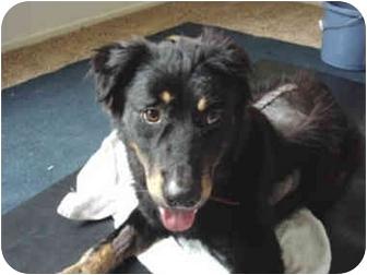 German Shepherd Dog/Rottweiler Mix Dog for adoption in West Los Angeles, California - Runner