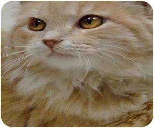 Domestic Longhair Cat for adoption in Chicago, Illinois - Mateo