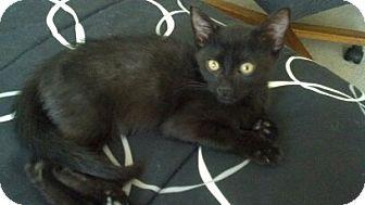 Calico Kitten for adoption in Fernley, Nevada - Tabitha