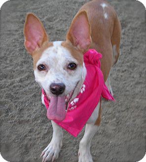 Chihuahua Mix Dog for adoption in El Cajon, California - Angel