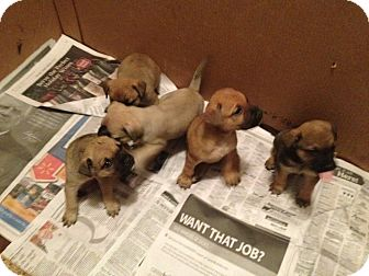 Terrier (Unknown Type, Small) Mix Puppy for adoption in Daytona Beach, Florida - Princess Puppies