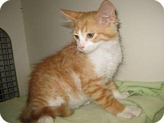Domestic Mediumhair Kitten for adoption in Edmond, Oklahoma - Kwazii