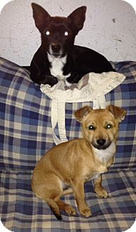 Toy Fox Terrier/Chihuahua Mix Dog for adoption in Studio City, California - MISSY and MAC