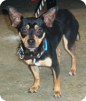Miniature Pinscher/Chihuahua Mix Dog for adoption in Castro Valley, California - Zeph