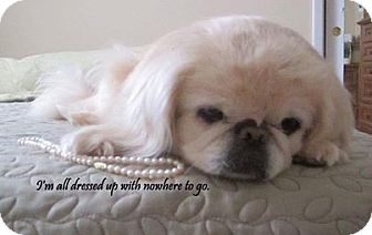 Pekingese Dog for adoption in Wilmington, Delaware - Hunny- PERFECT COMPANION!