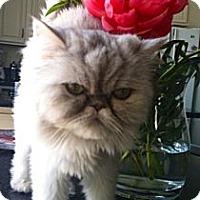 Adopt A Pet :: Bella Rose - Beverly Hills, CA
