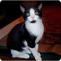 Adopt A Pet :: Domino - Arlington, VA