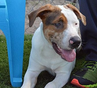 Catahoula Leopard Dog Dog for adoption in Arcadia, Florida - Chip