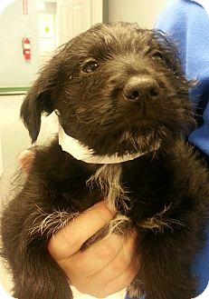 Border Collie/Schnauzer (Standard) Mix Puppy for adoption in Chicago, Illinois - Buzz*ADOPTED!*
