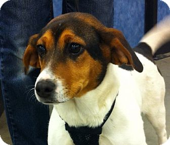 Beagle/Jack Russell Terrier Mix Dog for adoption in Waterbury, Connecticut - Maggie2