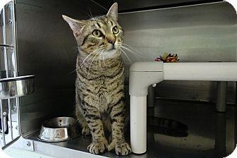Domestic Shorthair Cat for adoption in Elyria, Ohio - Biddy