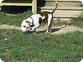 Pit Bull Terrier Mix Dog for adoption in Winchester, Ohio - Angel