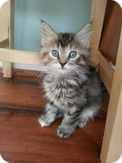 Domestic Longhair Kitten for adoption in Union, Kentucky - Piccolo