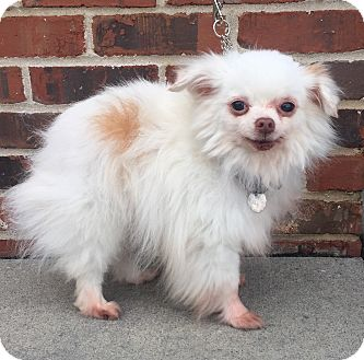 Chihuahua/Pomeranian Mix Dog for adoption in Mount Pleasant, South Carolina - Jack