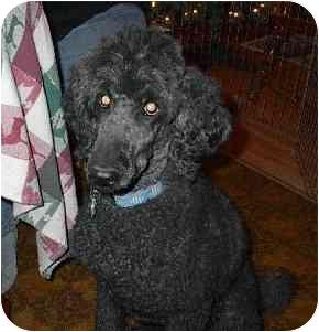 Poodle (Standard) Dog for adoption in Naugatuck, Connecticut - Misty