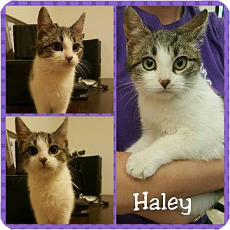 Domestic Shorthair Kitten for adoption in North Richland Hills, Texas - Haley