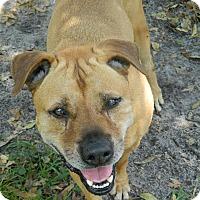 Shar Pei Mix Dog for adoption in Jupiter, Florida - Roscoe