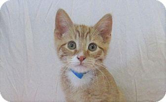 Domestic Shorthair Kitten for adoption in Lloydminster, Alberta - Timon