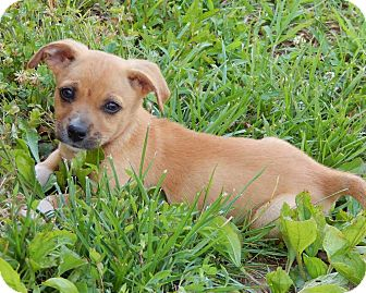 Corgi/Terrier (Unknown Type, Small) Mix Puppy for adoption in Niagara Falls, New York - Charlotte(5 lb) A Character!
