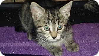Domestic Shorthair Kitten for adoption in Mims, Florida - Pinky