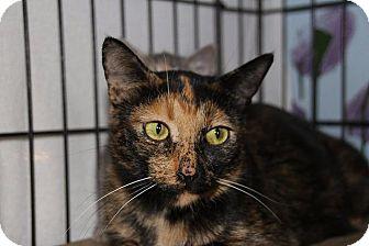 Domestic Shorthair Cat for adoption in Ann Arbor, Michigan - Clariee (Semi feral)