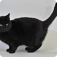 Domestic Shorthair Cat for adoption in New Iberia, Louisiana - ONYX