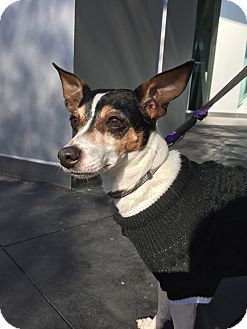 Jack Russell Terrier/Rat Terrier Mix Dog for adoption in Astoria, New York - Viola: Adoption Pending