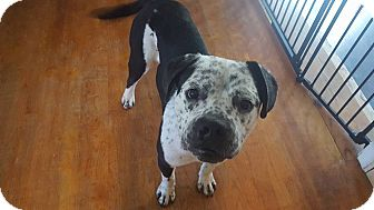 Boxer/Bulldog Mix Dog for adoption in Maryville, Illinois - Roman
