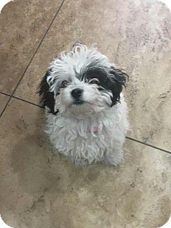 Shih Tzu/Maltese Mix Puppy for adoption in Phoenix, Arizona - Sophie