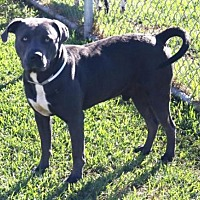 Adopt A Pet :: A1438520 - Houston, TX
