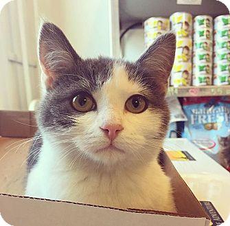 Manx Kitten for adoption in Baltimore, Maryland - Bob