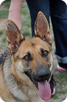 German Shepherd Dog Dog for adoption in Dripping Springs, Texas - Bonnie
