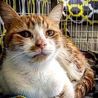 Adopt A Pet :: GiGi - Ruckersville, VA