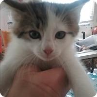 Domestic Mediumhair Kitten for adoption in Parkton, North Carolina - Spot