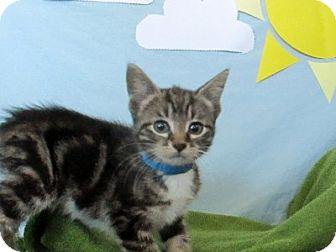 Domestic Shorthair Kitten for adoption in Lloydminster, Alberta - Gandalf