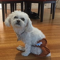 Maltese Dog for adoption in Los Angeles, California - Zippy