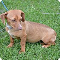 Adopt A Pet :: Bunny - Springfield, VA