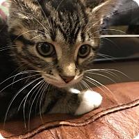 Adopt A Pet :: Polly - LaGrange Park, IL