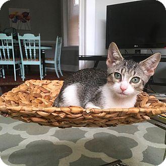 Domestic Shorthair Kitten for adoption in Richmond, Virginia - Drake