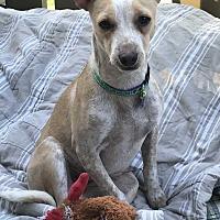 Adopt A Pet :: Raja (female) - Billings, MT