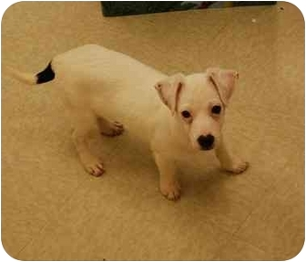 Jack Russell Terrier/Wirehaired Fox Terrier Mix Puppy for adoption in Gallatin, Tennessee - HOSS