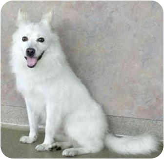 American Eskimo Dog Dog for adoption in Marina del Rey, California - Chopin