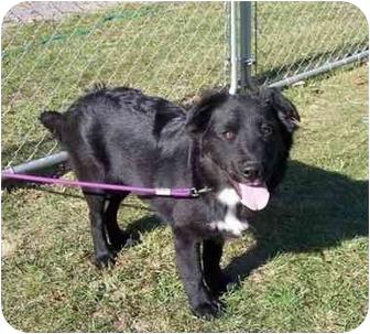 Labrador Retriever/Border Collie Mix Dog for adoption in Stuarts Draft, Virginia - Nigelia