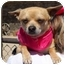 Photo 1 - Chihuahua Mix Dog for adoption in Palmdale, California - Poocho