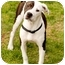Photo 1 - American Staffordshire Terrier/Pointer Mix Dog for adoption in Marina del Rey, California - Elsie