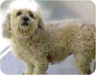 Maltese Mix Dog for adoption in San Clemente, California - DELILAH